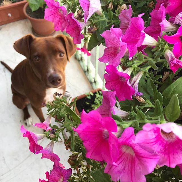 花ボン#ボン先輩 #いぬ部 #元保護犬 #雑種犬 #ミックス犬 #mydog #ペチュニア