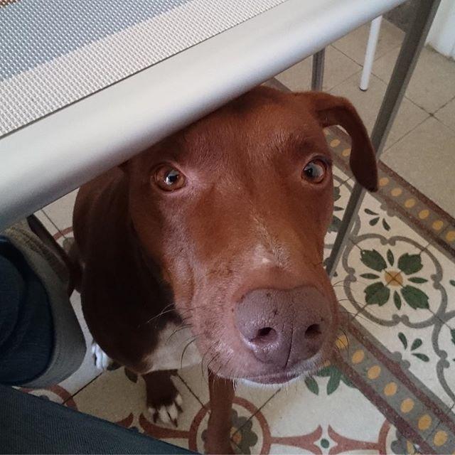 テーブルの下から...「下さい!」視線のプレッシャーがない日はないのである。。。 #犬あるある #ボン先輩 #雑種犬 #雑種犬同好会 #cane #dogstagram #muttstagram #mydog #いぬとの暮らし