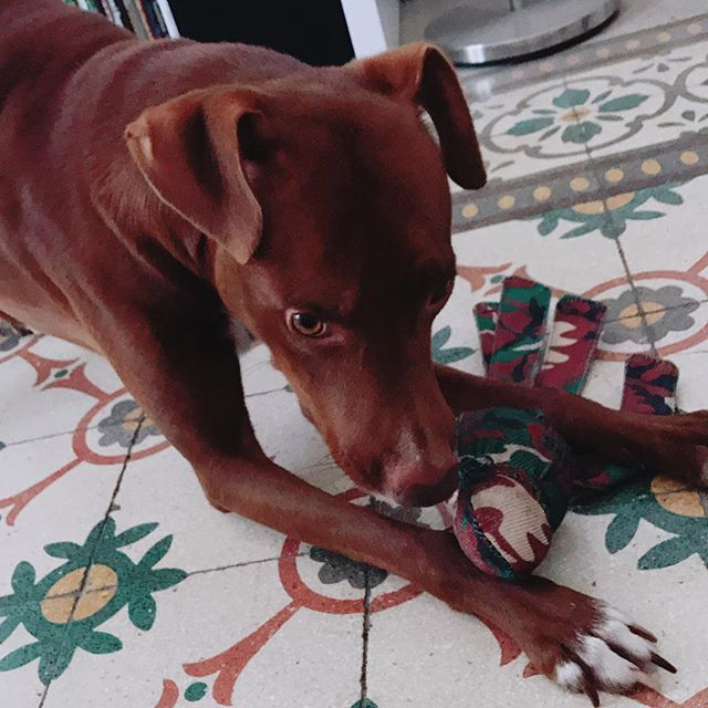 朝からめっちゃ挑戦的w*#ボン先輩 #お気に入り 過ぎる #おもちゃ #ブームは去らず #取って欲しいけど取られたくない #元保護犬 #雑種犬 #シチリア #犬との暮らし #cane #ilovemydog #muttstagram