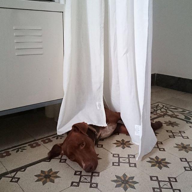 なぜ、そこw?*#カーテンのヒラヒラが気持ちいいとか? #ボン先輩 #雑種犬 #元保護犬 #いぬとの暮らし #いぬばか部 #ilovemydog #cane #muttstagram #lovelypet