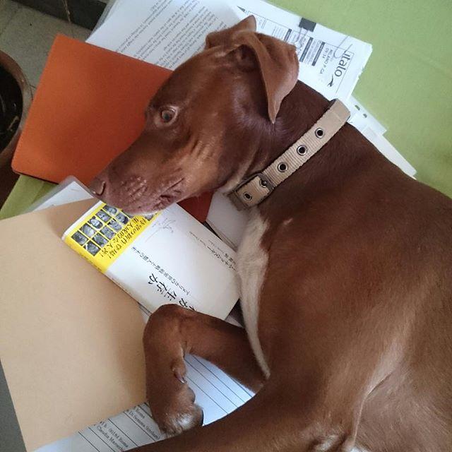 どいて→「どかない」*#仕事道具がたまに犬くさい #ボン先輩 #遊んでアピール #雑種犬 #元保護犬 #犬との暮らし #cane #ilovemydog #muttstagram