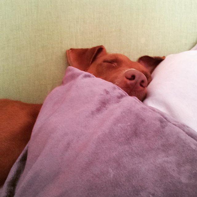 埋まってるw。#おはよう #ボン先輩 #雑種犬 #元保護犬 #いぬとの暮らし #いぬら部 #和む #cane #ilovemydog #dogofinstagram