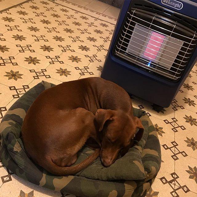 犬っぽいww#ボン先輩 #寒がり #雑種犬 #保護犬 #cane #ilovemydog #いぬとの暮らし #いぬら部 #dogstagram