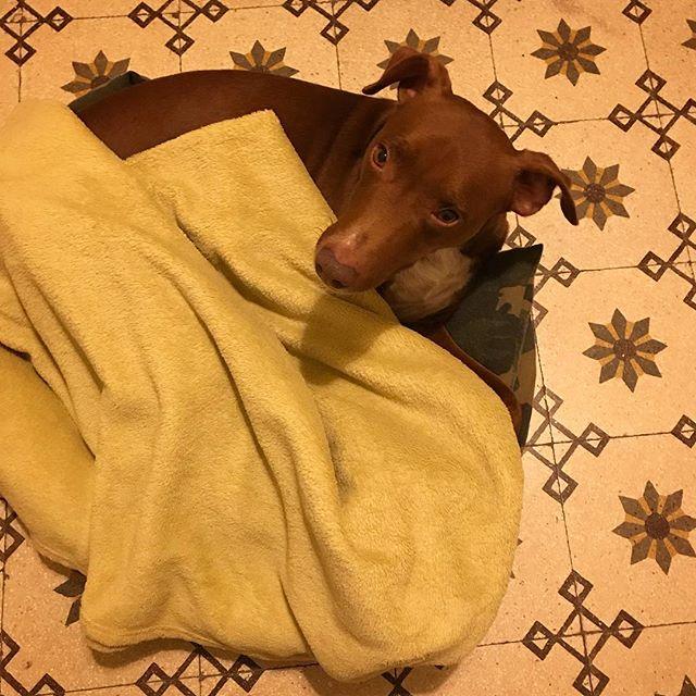 """え?コタツ? """"Kotatsu""""style.*#ボン先輩 #毛布大好き #雑種犬 #保護犬出身 #寒がり #cane #ilovemydog"""