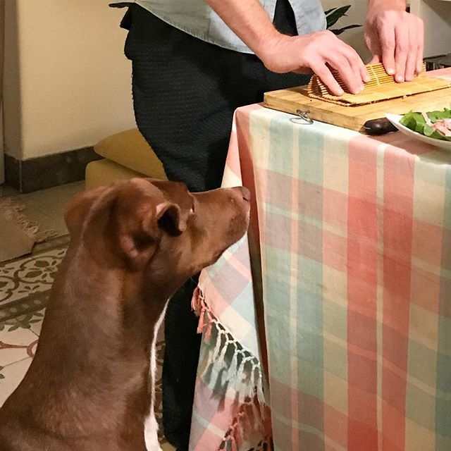 うまく巻けますか?なんなら食べますけど?#ボン先輩 #居酒屋ボン #海苔巻き #雑種犬 #保護犬 #保護犬出身 #いぬとの暮らし #cane #ilovemydog #cucinagiapponese #海外で和食