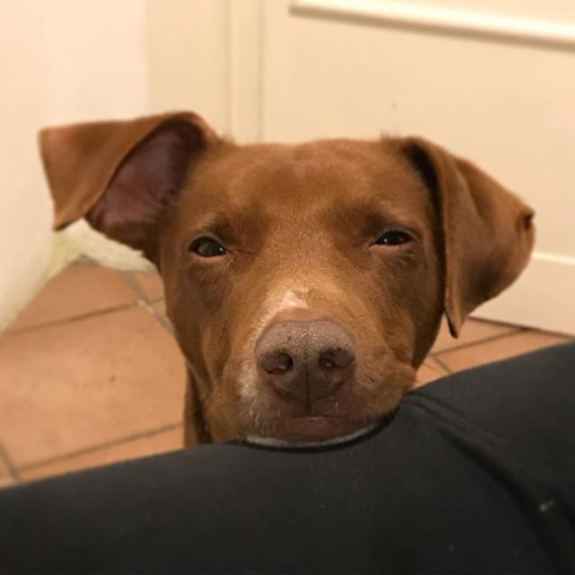 眠いなら寝てくださいw。Di che cosa state parlando?*#聞き耳たてる #ボン先輩 #眠いけど会話には参加したい #犬 の #参加意識ハンパない #雑種犬 #保護犬 #保護犬出身 #cane #ilovemydog