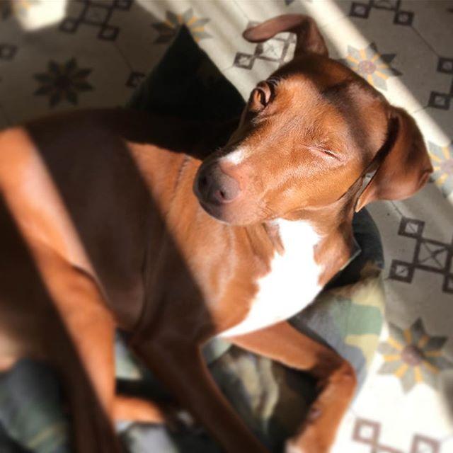 まぶしいっス la luce primaverile *#ボン先輩 #おはよう #太陽のキラキラ増加中️ #雑種犬 #保護犬 #保護犬出身 #cane #ilovemydog #buongiorno