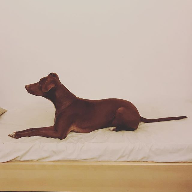 我が家の#スフィンクス La nostra #sfinge *#ボン先輩 #雑種犬 #保護犬 #保護犬出身 #美しい #細マッチョ #cane #ilovemydog