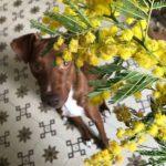 狙われたミモザ…女性の日Festa della Donna