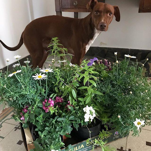 うちにも春が来ましたよ♪注文してた花たちが届きました!#ボン先輩 #雑種犬 #保護犬 #愛犬 #犬との暮らし #春 #花 #cane #ilovemydog #sicilia #primavera