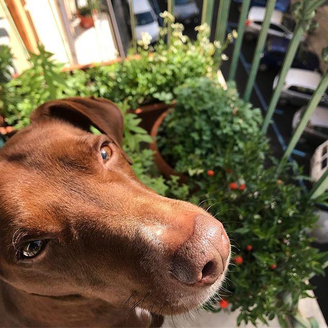 やっと晴れましたな。Finalmente il sole.*#ボン先輩 #雑種犬 #保護犬 #愛犬 #犬のいる暮らし #バルコニー菜園 #夏時間 #cane #ilovemydog