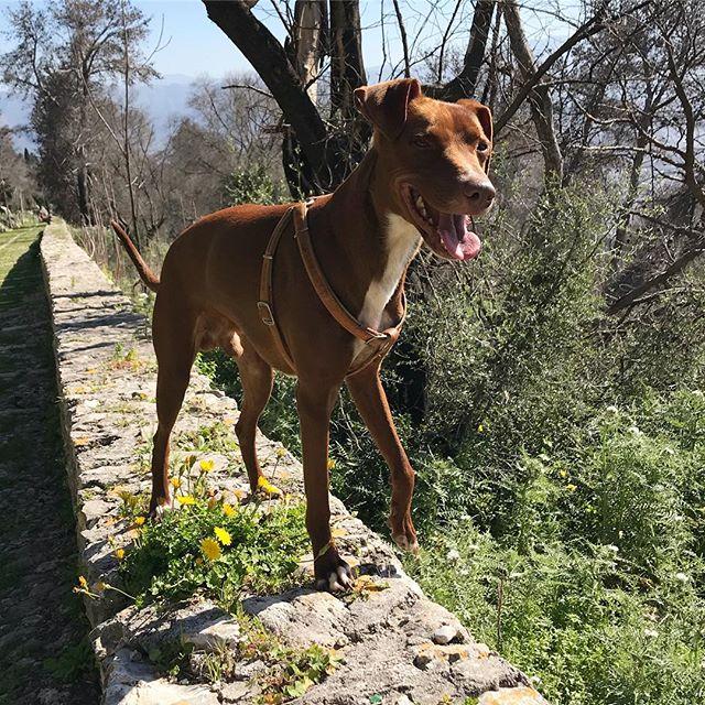 ご機嫌ちゃんsono felice!*#ボン先輩 #雑種犬 #保護犬 #愛犬 #お散歩 #cane #ilovemydog #sicilia #palermo #montepellegrino
