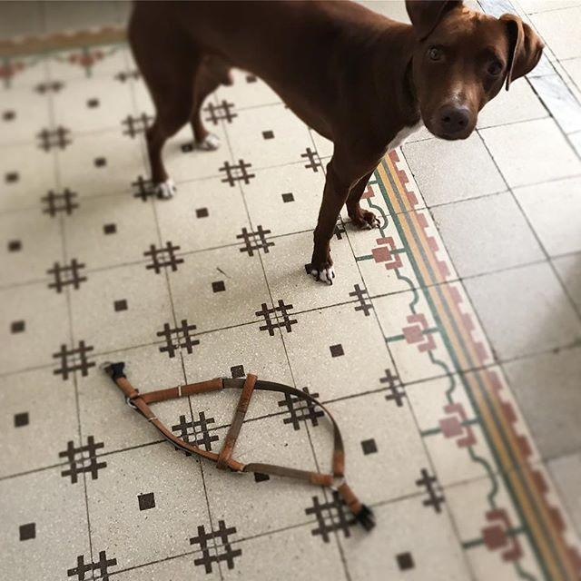 外に行くのは大好きだけど、それは苦手なんだ...俺。Mi piace uscire ma non mi piace metterela...*#毎回ひと騒動 #ボン先輩 #雑種犬 #元保護犬 #雑種犬同好会 #中型犬 #イタリア #シチリア #ハーネス #pettorina #cane #sicilia #ilovemydog #dogstagram