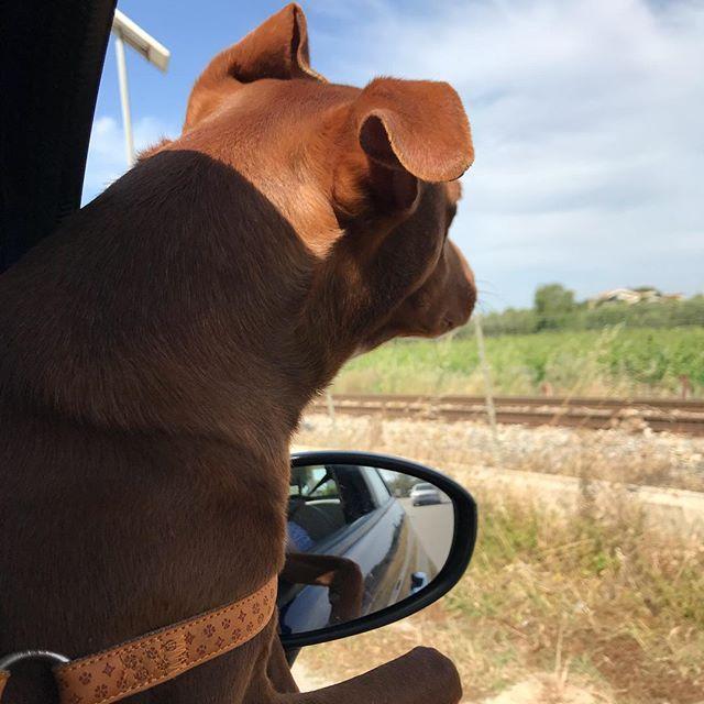 シチリアの風景を眺めながら...物思いに耽る犬w。Indulge nei pensieri...*#ボン先輩 #雑種犬 #元保護犬 #雑種犬同好会 #犬とドライブ #シチリア #cane #ilovemydog