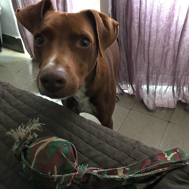 おねがいします!Ecco, giochiamo!#朝イチから遊びのお誘い #無理 #ごめん #タコさん #ボン先輩 #雑種犬 #元保護犬 #犬 #おはよう #cane #ilovemydog