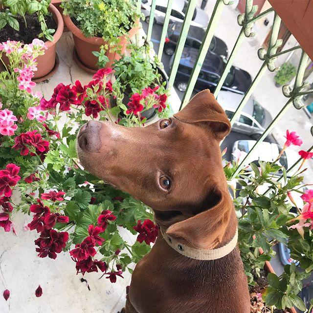 食べないでくれないかなぁ。それ花なのよ。食べ物じゃないのよ。Non sono da mangiare...#新着の花たちに興味津々 #バルコニーガーデン #ボン先輩 #雑種犬 #雑種犬同好会 #元保護犬 #愛犬 #cane #ilovemydog #dogstagram #buongiorno