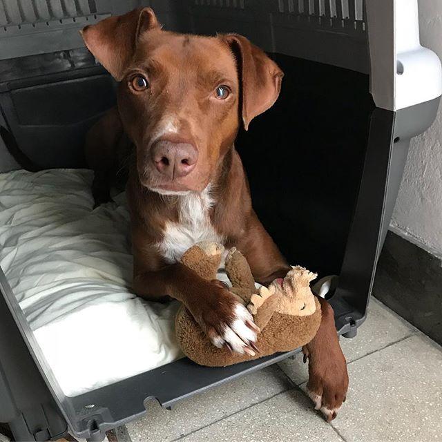 おはようございます。でもモグラは渡しません。Buongiorno, ma non ti do la mia talpa..#いらないですよ #ボン先輩 #タコさんブーム去る... #雑種犬 #雑種犬大好き #元保護犬 #犬のいる暮らし #cane #ilovemydog #buongiorno