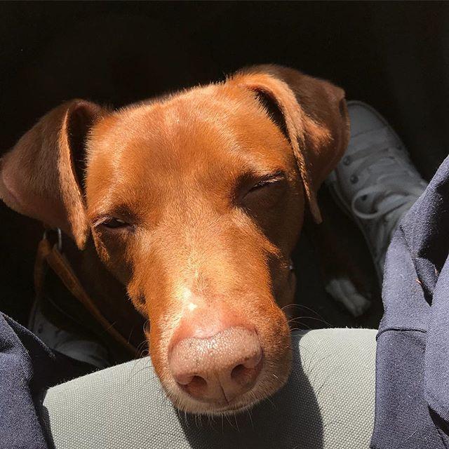 車のシートに顎を乗せて寝る#ボン先輩 Dove stiamo andando?.#雑種犬 #雑種犬大好き #元保護犬 #保護犬出身 #愛犬 #犬とドライブ #cane #ilovemydog #drivewithdog