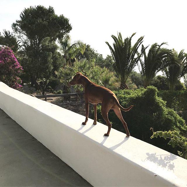 早朝警備隊、出動。A guardia del giardino di prima mattina.#おはよう #ボン先輩 #ください攻撃 #マグロ #雑種犬 #雑種犬大好き #元保護犬 #保護犬応援 #シチリア #エオリエ #犬旅 #フィリクーディ島 #バカンス #詳しくはブログへ #sicilia #filicudi #buongiorno