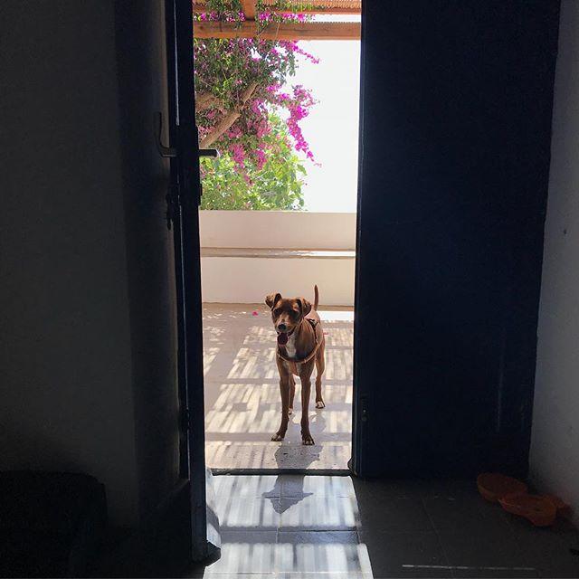 おはよー🌞起きた?#buongiorno #ボン先輩 #足長い #雑種犬 #保護犬 #元保護犬 #イケメン犬 #シチリア #ブーゲンビリア #ilovemydog #cane #dog #sicilia