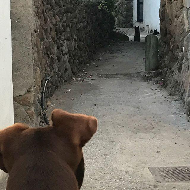 24時間体制でご近所の猫たち(15匹)と戦っていますw。24 su 24 ore non si ferma mai il combattimento con i gatti del vicino.#続きはブログで #ボン先輩 #雑種犬 #元保護犬 #元保護猫 #猫 #犬と旅行 #シチリア #エオリア諸島 #フィリクーディ島 #俺の夏休み2018 #filicudi #eolie #sicilia #siciliabedda #gatti