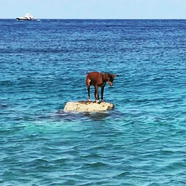 今夏はミーミー泣かずに飛び込むぜ!Ormai sono un'esperto di tuffi.#飛んだ #ボン先輩 #泳ぐ犬 #飛び込み #詳しくはブログで #雑種犬 #元保護犬 #犬と旅行 #シチリア #エオリア諸島 #フィリクーディ島 #俺の夏休み2018 #filicudi #eolie #sicilia #siciliabedda #swimmingdog #tuffo @la_vacanza_italiana