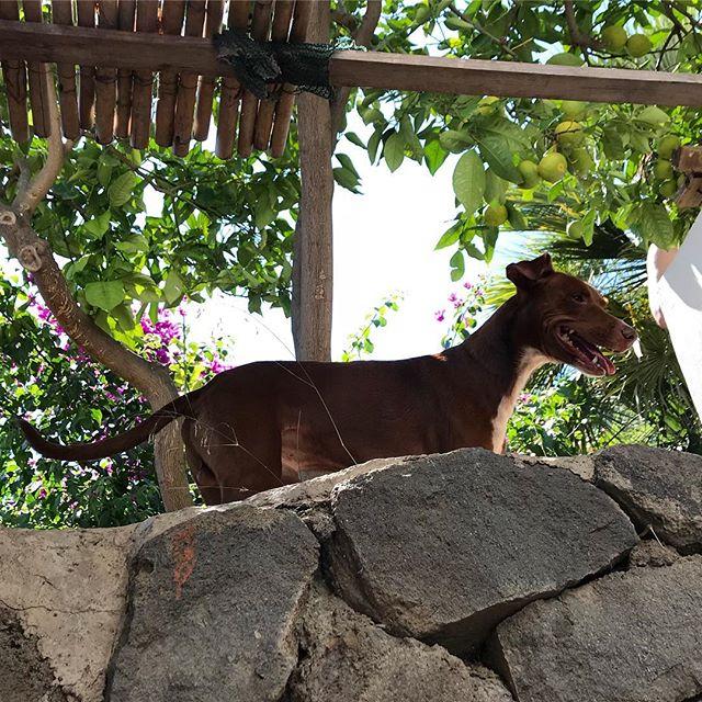 ヤモリ探索中。朝から夜まで楽しそう。Ha fatto l'amicizia con i gechi年 .#ボン先輩 #雑種犬 #元保護犬 #犬と旅行 #シチリア #エオリア諸島 #フィリクーディ島 #俺の夏休み2018 #詳しくはブログで #filicudi #eolie #sicilia #siciliabedda #buongiorno