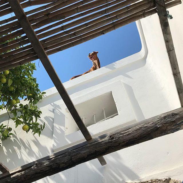 拝啓、屋根の上から。Buongiorno from tetto.#ボン先輩 #雑種犬 #元保護犬 #犬と旅行 #いぬすたぐらむ #シチリア #エオリア諸島 #フィリクーディ島 #俺の夏休み2018 #詳しくはブログで #filicudi #eolie #sicilia #siciliabedda @la_vacanza_italiana