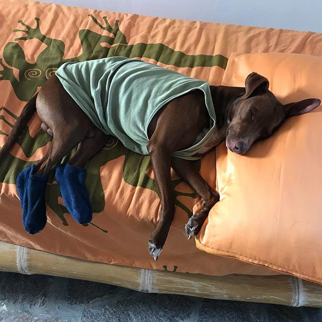 遊び疲れて爆睡する小さなおじさんw Un piccolo signore sta dormendo alla grande.#ちょっと着せてみた #全然起きない #靴下が似合う #ボン先輩 #雑種犬 #元保護犬 #犬と旅行 #シチリア #エオリア諸島 #フィリクーディ島 #俺の夏休み2018 #詳しくはブログで #filicudi #eolie #sicilia #siciliabedda