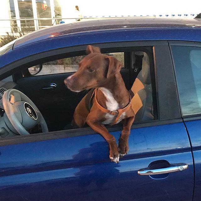 俺の車に乗って行くかい?Vuoi venire con me?#ボン先輩 #チンクエチェント #雑種犬 #雑種犬大好き #保護犬出身 #保護犬を飼おう #いぬすたぐらむ #シチリア #詳しくはブログで #sicilia #cane #dogstagram