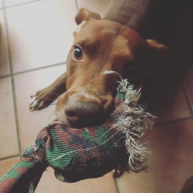 朝からタコさんの引っ張りっこ... Dalla mattina...2: 大好きすぎてボロボロ3: 完全系のタコさん(去年)#ボン先輩 #タコ好き #ブーム去らず #犬のオモチャ #はまりすぎ#雑種犬 #雑種犬大好き #保護犬出身 #保護犬を飼おう #いぬすたぐらむ #イタリア #シチリア #詳しくはブログで #sicilia #cane #dogstagram