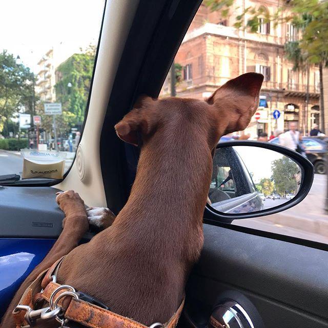 車のココが、俺の定位置。耳、パタパタからの信号待ちのガッカリ感w。#ボン先輩 #犬とドライブ #シチリア #パレルモ #雑種犬 #雑種犬大好き #保護犬 #いぬすたぐらむ #cane #dogstagram
