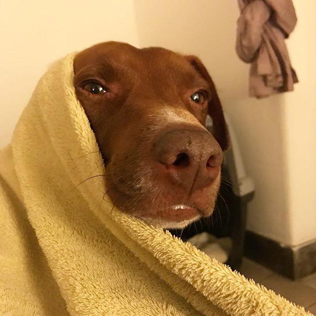 お?おはようございます?朝ですか?夜ですか?B..buongiorno...mattina? O sera?夜ですよw。真夜中の寝ぼけボン。È ancora sera.#ボン先輩 #雑種犬 #犬のいる暮らし #保護犬 #雑種犬大好き #保護犬を家族に #イタリア #イタリア語 #イケメン犬 #italia #cane #dogstagram